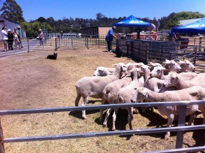 sheep demo