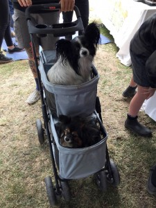 Pet Dogs in a Pram